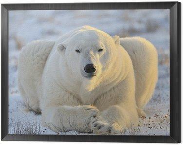 Polar bear lying at tundra.