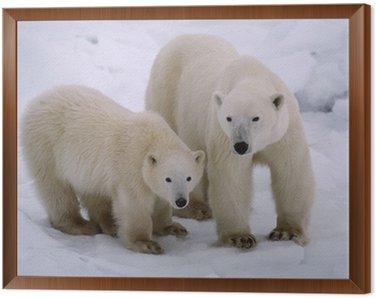 Framed Canvas Polar bear with her cub of the year. Canadian Arctic