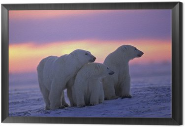 Framed Canvas Polar bear with her cubs in Canadian Arctic sunset