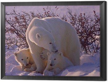 Framed Canvas Polar bears in Canadian Arctic