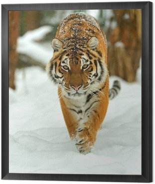 Framed Canvas Portrait of a Siberian tiger