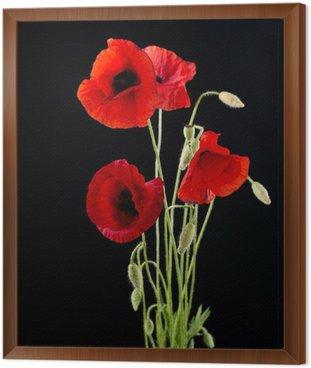 Framed Canvas Red Poppy Flower Isolated on Black