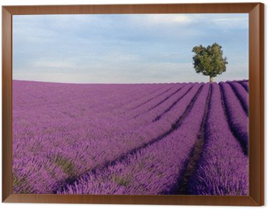 Rich lavender field in Provence with a lone tree Framed Canvas