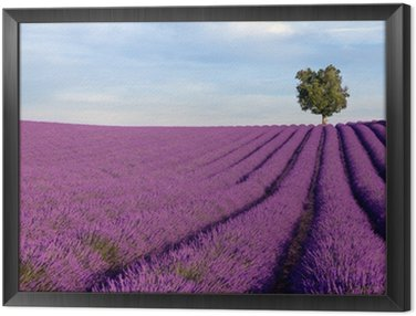 Framed Canvas Rich lavender field in Provence with a lone tree