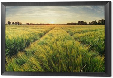 Rural landscape with wheat field on sunset Framed Canvas