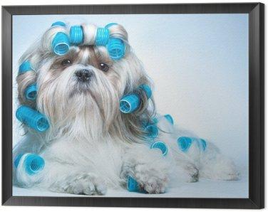 Framed Canvas Shih tzu dog