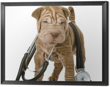 Framed Canvas shrpei puppy dog with a stethoscope on his neck. isolated