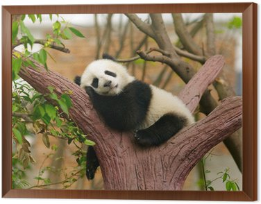 Sleeping giant panda baby Framed Canvas