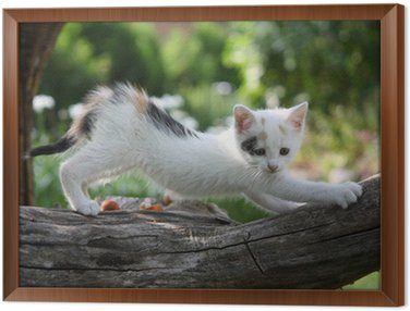 Framed Canvas Small white kitten scratching tree branch