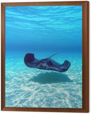 Framed Canvas southern Stingray 11