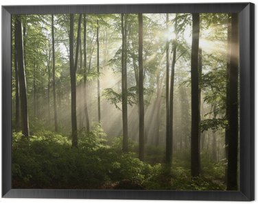 Framed Canvas Spring beech forest after a few days of rain in a foggy morning