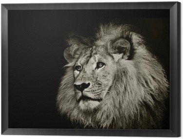 strong lion Framed Canvas