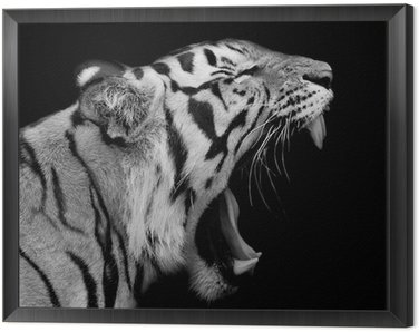 Framed Canvas Sumatran Tiger Roaring