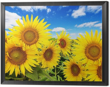 Framed Canvas sunflower field and blue sky with clouds