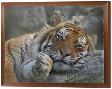Framed Canvas Tigre in relax