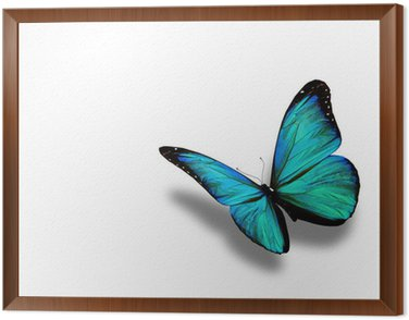 Framed Canvas Turquoise butterfly, isolated on white background