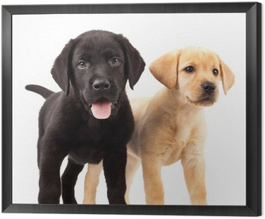 Framed Canvas two cute labrador puppies