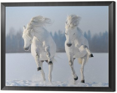 Framed Canvas Two galloping snow-white horses