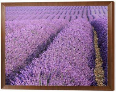 valensole provenza francia campi di lavanda fiorita Framed Canvas