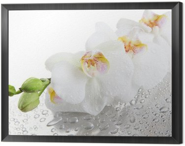 Framed Canvas white beautiful orchids with drops