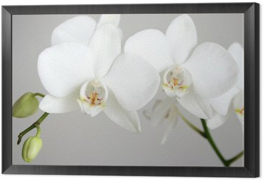 Framed Canvas white orchid