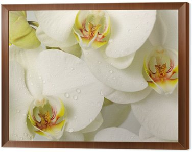 Framed Canvas white orchids