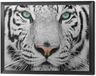 Framed Canvas white tiger
