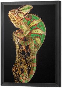 Yemen chameleon Framed Canvas