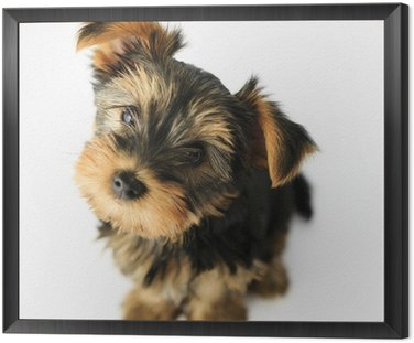 Yorkshire terrier - portrait of a cute puppy Framed Canvas
