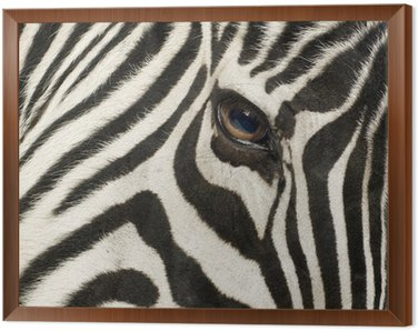 Framed Canvas Zebra