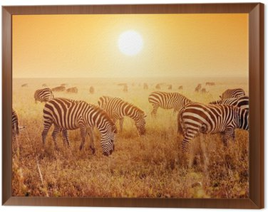 Framed Canvas Zebras herd on African savanna at sunset.