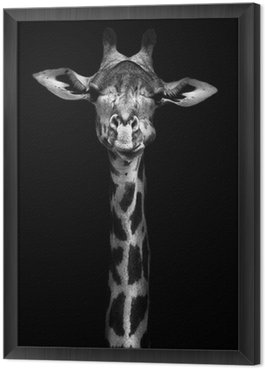 Gerahmtes Leinwandbild Giraffe in Schwarz-Weiß