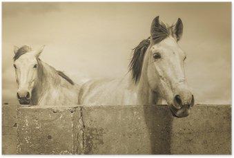 HD Poster Zwei weiße Pferde