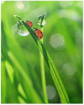 HD Poster Taze sabah çiy ve ladybirds