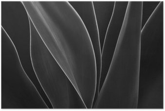 HD Poster Dancing Agave