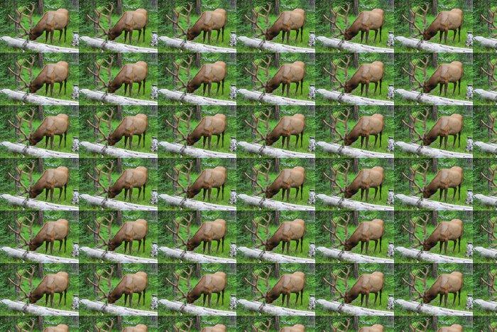 Vinylová Tapeta Velké bull elk pasoucí se v létě trávě v Yellowstone - Amerika