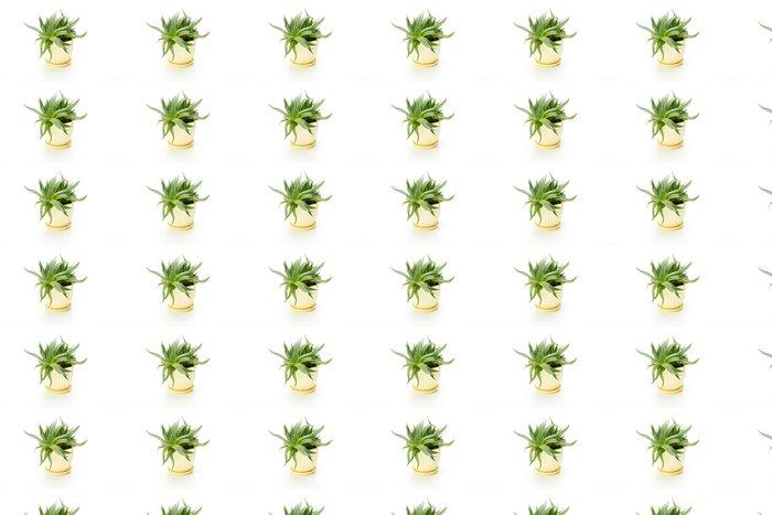 Vinylová Tapeta Haworthia izolovaných na bílém pozadí - Květiny