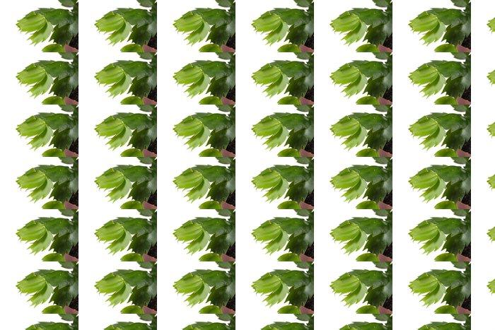 Vinylová Tapeta Makro záběr Zygocactus, foto na bílém pozadí - Rostliny