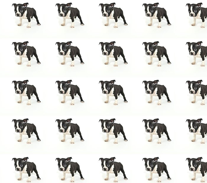 """Vinylová Tapeta Boston teriér štěně říkají """"Omlouvám se."""" - Criteo"""