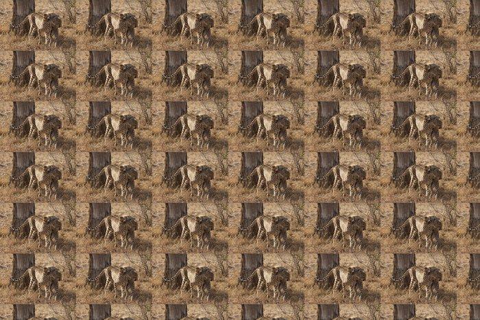 Vinylová Tapeta Gepard (Acinonyx jubatus) - Savci