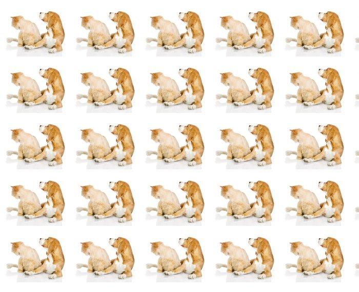 Vinylová Tapeta Beagle a perská kočka. dívat se jinam. izolovaných na bílém - Savci