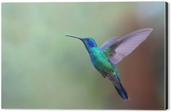 Impressão em Alumínio (Dibond) Colibri violetear verde no vôo em Costa Rica