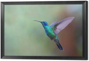 Ingelijst Canvas Groene Violetoorkolibrie kolibrie tijdens de vlucht in Costa Rica