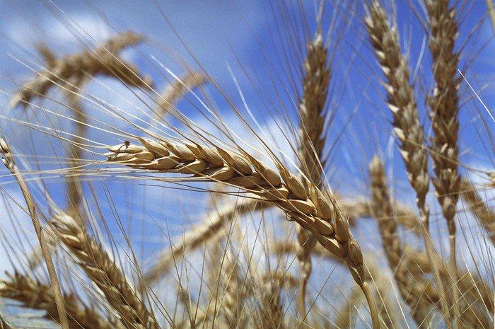 Tryptyk Kłos pszenicy - iStaging