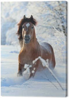 Leinwandbild Bay Pferd laufen im Winter