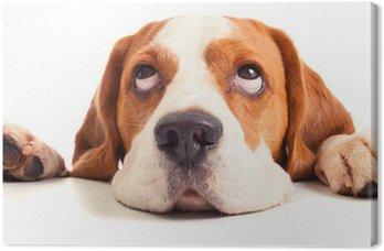 Leinwandbild Beagle Kopf isoliert auf weiß