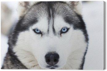 Leinwandbild Close up auf blauen Augen Husky