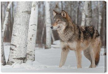 Leinwandbild Grauer Wolf (Canis lupus) Ständer nach links