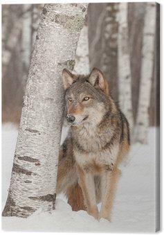 Leinwandbild Grauer Wolf (Canis lupus) steht neben Birke