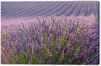 Leinwandbild Lavendelfeld bei Sonnenaufgang